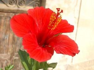 Hibiscus Rosasinensis yang sedang mekar
