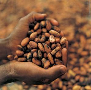 Cara membuat cokelat : kakao yang sudah difermentasikan siap untuk dikeringkan