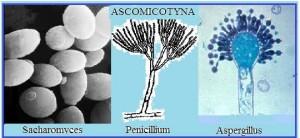 Klasifikasi Tumbuhan : Jamur Ascomycotina